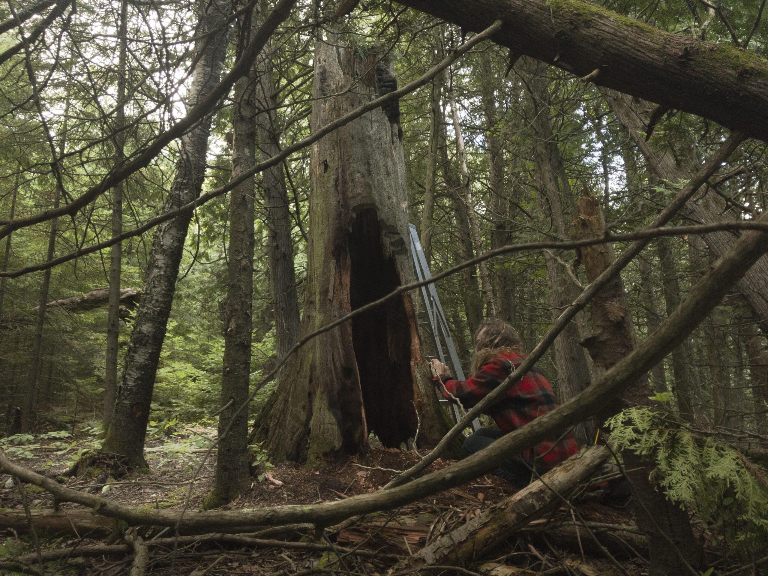 tree harp